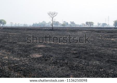 burned rice straw field ...