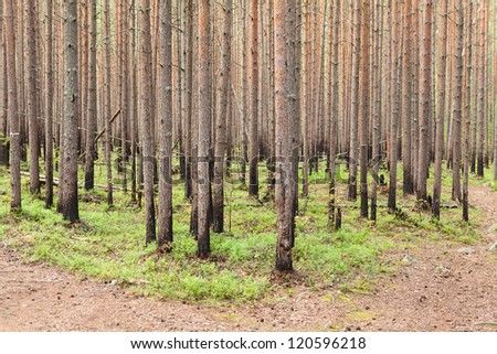 Burned stems of pines in evergreen forest