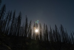 Burned trees after forest fire in California