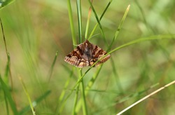 Burnet companion moth - owlet moths