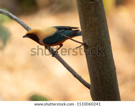 Burnished-buff Tanager (Tangara cayana) isolated on the branch of a tree in the Brazilian rainforest. Brazilian fauna bird