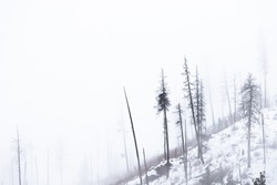 Burnt Fir Trees on Mountain in Winter with Snow and Fog