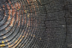 Burnt resinous wood glowing texture Selective focus of rough surface felled tree weathered with annual rings. Concept of long life longevity aging. Background with copyspace of black and orange stump.
