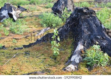 Burnt tree stumps after a forest fire