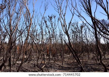 Burnt trees, ash and scorched earth after a bushfire in heathland in Kamay Botany Bay National Park, NSW, Australia. #714445702