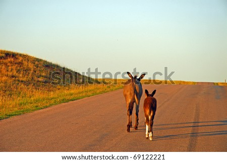 Burro and foal walking on road in Custer State Park