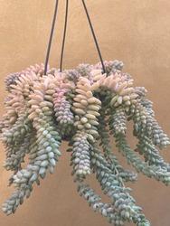 Burro's tail plant  donkey's tail hanging plant  Sedum