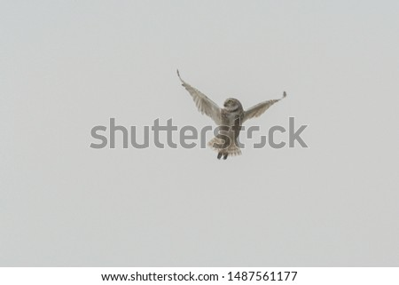 Burrowing owl (Athene cunicularia) in flight looking to the left of the picture, against a white sky on an on overcast day.