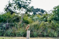 burrowing owl, Athene cunicularia, sitting on a fence pole in the Pantanal, The small, long legged owl can be found in grasslands, rangelands, agricultural areas, deserts in North and South America