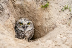 Burrowing Owl (Athene cunicularia) standing on the ground. Burrowing Owl sitting in the nest hole. Burrowing owl protecting home.