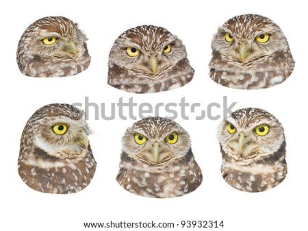 Burrowing Owl  heads for your design. Latin name - Athene cunicularia.