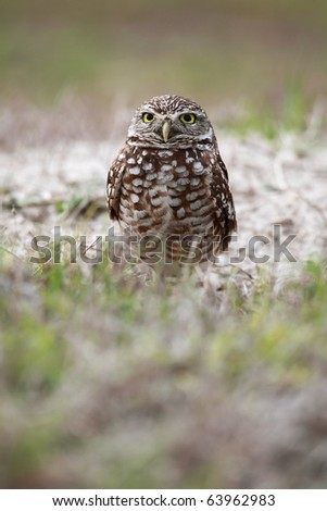 Burrowing Owl in Cape Coral, Florida.