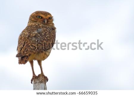 Burrowing owl on a fence post. Athene cunicularia - Strigidae.