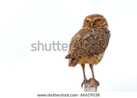 Burrowing owl on a fence post. Athene cunicularia - Strigidae.