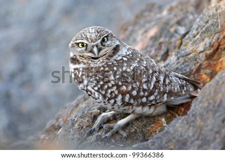 Burrowing Owl perched on rocks