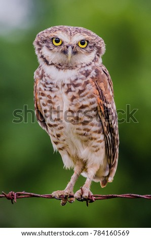 Burrowing Owl perched on wire