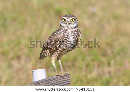 Burrowing Owl stands on his perch.