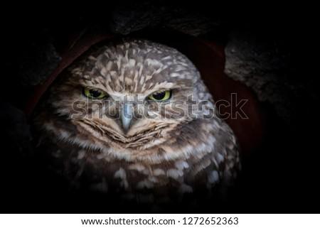 Burrowing Owl upclose