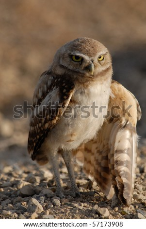 Burrowing Owl with injured wing
