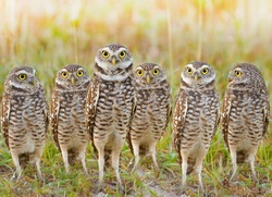 Burrowing Owls annual meeting. Local gang. Latin name - Athene cunicularia.
