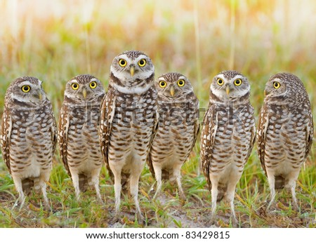 stock-photo-burrowing-owls-annual-meeting-local-gang-latin-name-athene-cunicularia-83429815.jpg