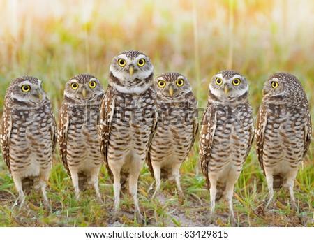 stock-photo-burrowing-owls-annual-meeting-local-gang-latin-name-athene-cunicularia-83429815.jpg