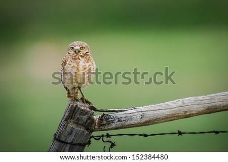 Burrowing Owls, Grasslands National Park Saskatchewan Canada