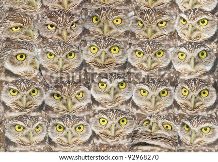 Burrowing Owls  group portrait. High resolution. Latin name - Athene cunicularia.