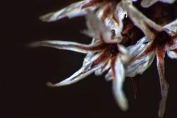 burst seed box is like Black flower of death (named Devil's Claw). Hell flower, limb of Satan. Window into world of ultra macro