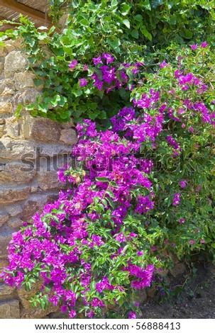bush blooming bougainvillea near the wall of stone in the garden