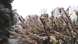 Bush branches freeze in ice and snow close-up in gray city. Unusual frosty cold winter weather conditions in nature