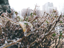 Bush branches with leaves freeze in ice and snow close-up in gray city. Unusual frosty cold winter weather conditions in city street