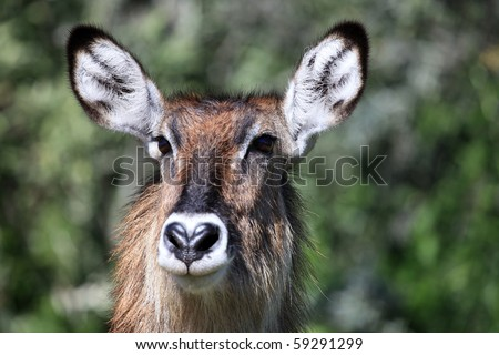Bush Buck - Lake Nukuru National Park in Kenya, Africa