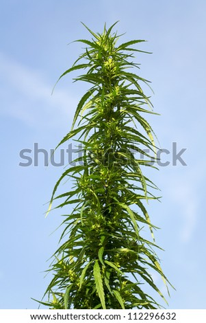 bush cannabis in the sky