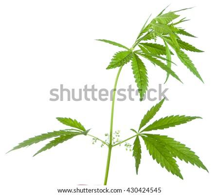 Bush cannabis isolated on white background #430424545