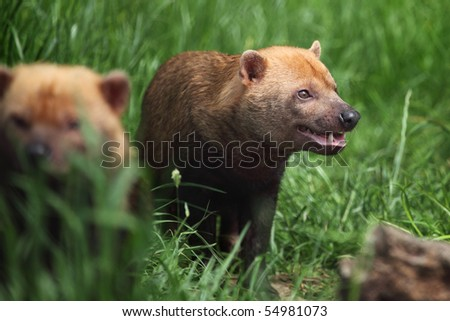 bush dog - Speothos venaticus in Chester zoo
