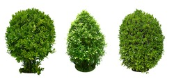Bush, Dwarf trees, ornamental trees, shrubs., Siamese rough bush, pruning tree for garden decoration.  Total of 3 Isolated on white background and clipping path.