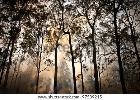 bush fire in eucalyptus forest