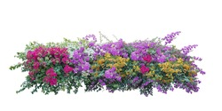 Bush flower of bougainvillea on isolated white background with copy space and clipping path. Plant tree in the garden.