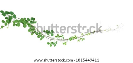 Bush grape or three-leaved wild vine cayratia (Cayratia trifolia) liana ivy plant bush, nature frame jungle border isolated on white background, clipping path included. ストックフォト ©