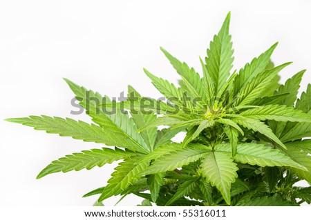 Bush of a hemp