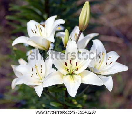 Bush of a white lily