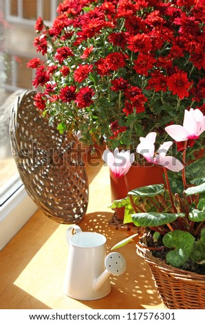 Bush of beautiful red chrysanthemum and watering can on a balcony by a sun day