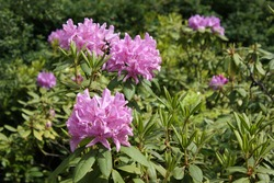 bush of blooming violet rhododendron. spring detail