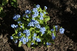 bush of blue forget-me-not flowers with light green leaves