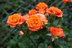 Bush of bright orange roses.