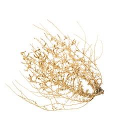 Bush of Crusty Dry Tumble Weed; isolated on white