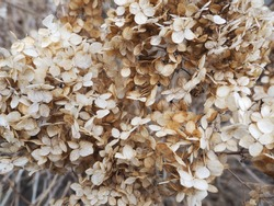 Bush of dried flowers. the dried beige little flowers close-up