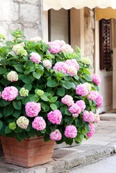 Bush of hydrangea in flower pot at town street. Flowerbed by cafe or store. Pink, lilac, purple flowers blooming in summer and spring.