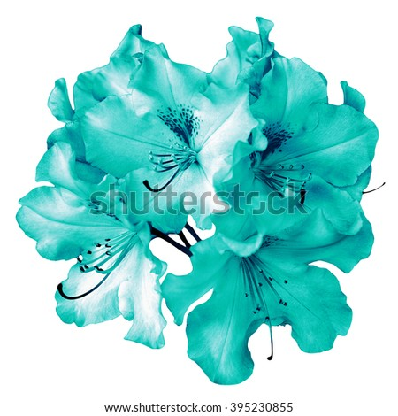 Bush of natural turquoise pelargonium flowers isolated on white